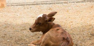 anak sapi perah
