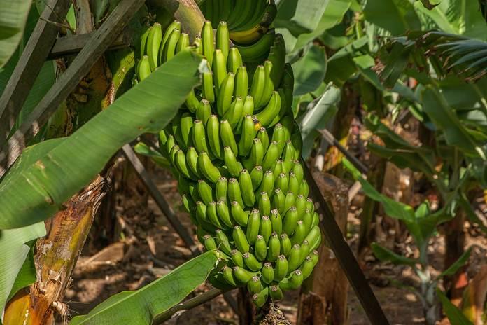 investasi pisang dan singkong