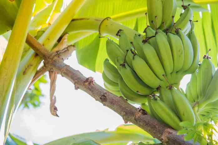 panen pisang