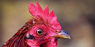 paruh ayam