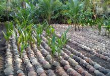 pengembangan kelapa kopyor