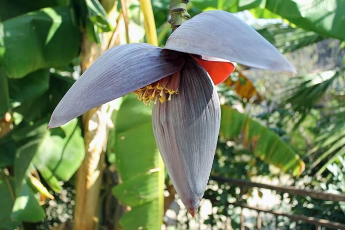 pohon pisang terbesar di dunia