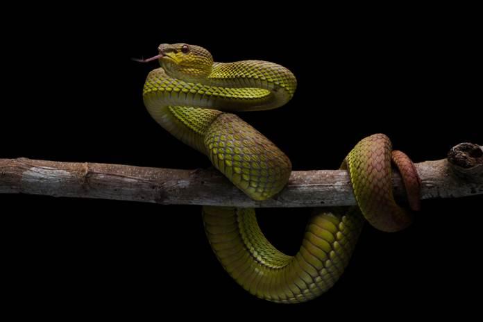 merawat reptil