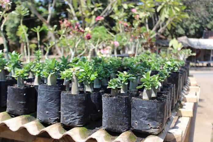 Bibit Bunga Hias Yang Miliki Prospek Bisnis Menjanjikan Pertanianku