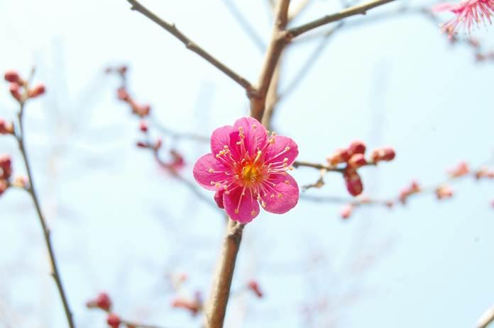 bunga plum