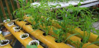 menanam bayam dan kangkung hidroponik