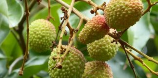 menanam buah leci di dalam pot