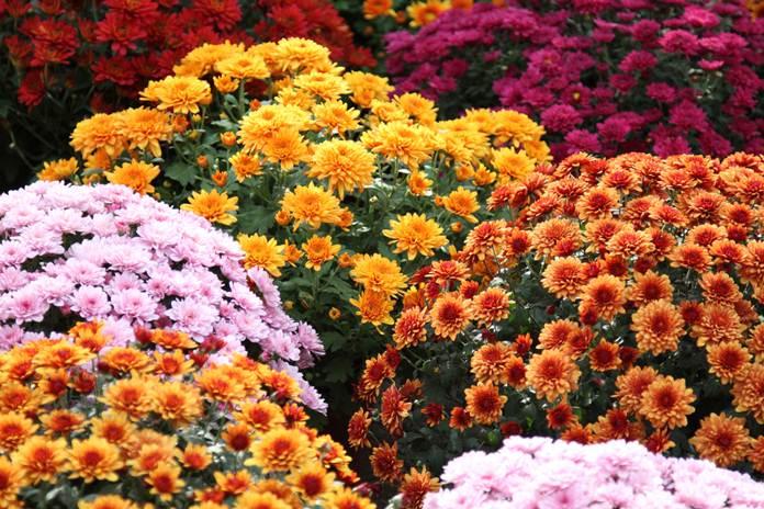cara merawat bunga krisan