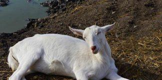 membantu kambing melahirkan