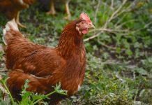 ternak ayam petelur tanpa kandang