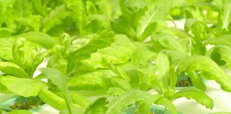 Gejala tanaman hidroponik kekurangan nutrisi