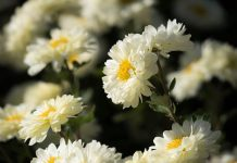 Indonesia Ekspor 14 Juta Setek Bunga Krisan ke Jepang
