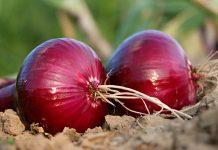 Pola tanam off-season bawang merah