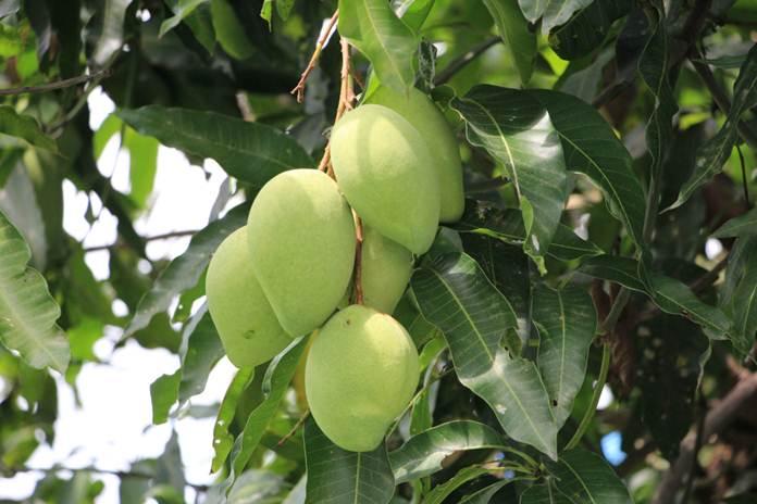 menanam mangga dari hasil cangkok