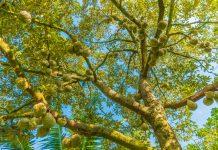 berkebun durian unggul