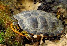 kura-kura bernapas melalui pantat