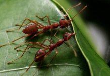 manfaat semut rangrang