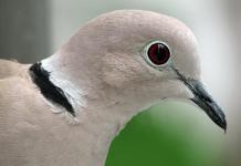 Burung puter putih