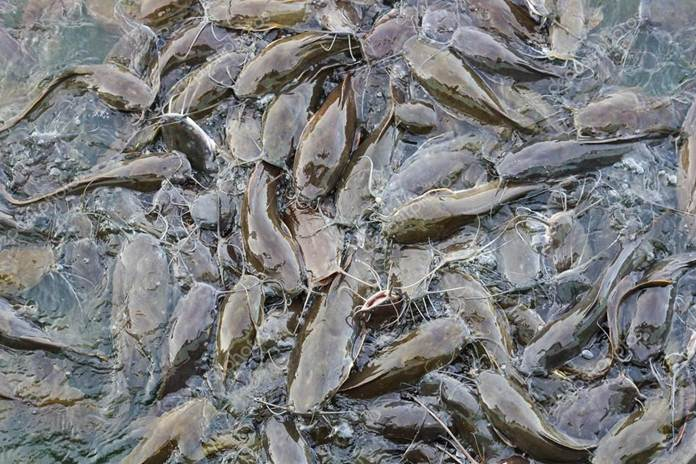 pemberian pakan ikan lele
