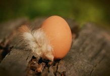 budidaya ayam petelur di hutan