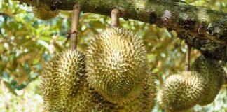 pemupukan tanaman durian