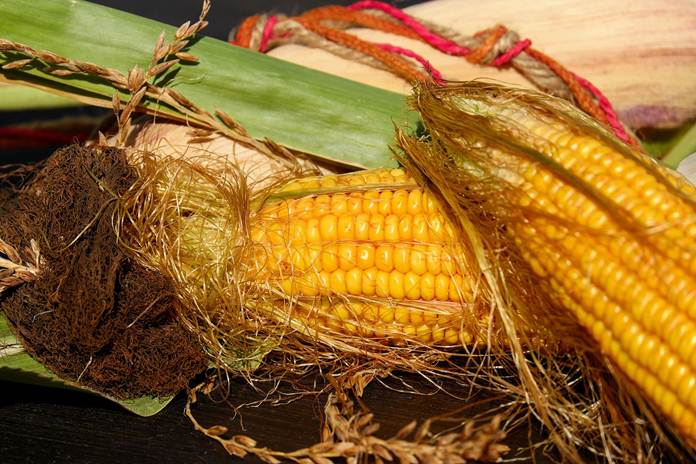 produksi jagung
