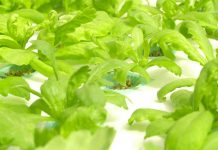 hidroponik tanpa greenhouse