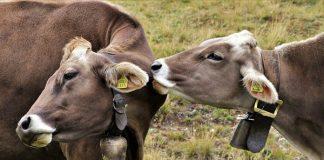Berahi pada sapi betina
