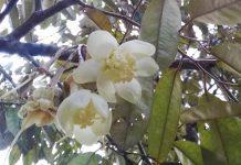 supaya bunga durian tidak rontok