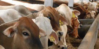 untung rugi inseminasi buatan pada ternak