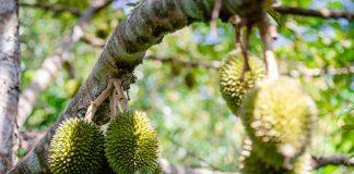 pemberian pupuk tanaman durian