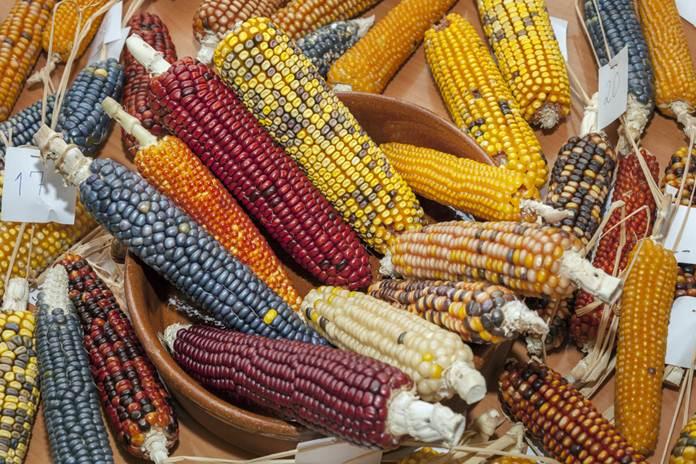 jenis jagung
