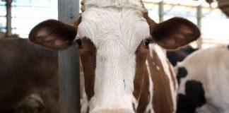 jenis penyakit sapi