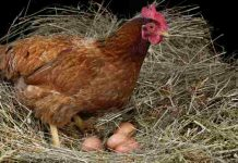 kebiasaan buruk ayam petelur