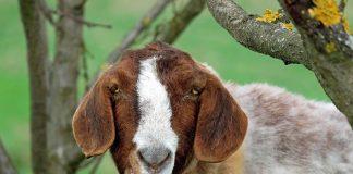 Radang kuku pada kambing