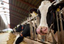 cara agar ternak tidak mudah sakit