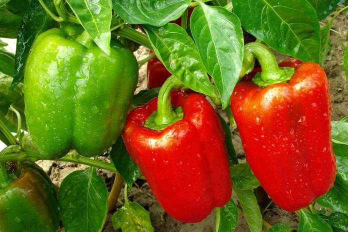 pemangkasan tanaman paprika