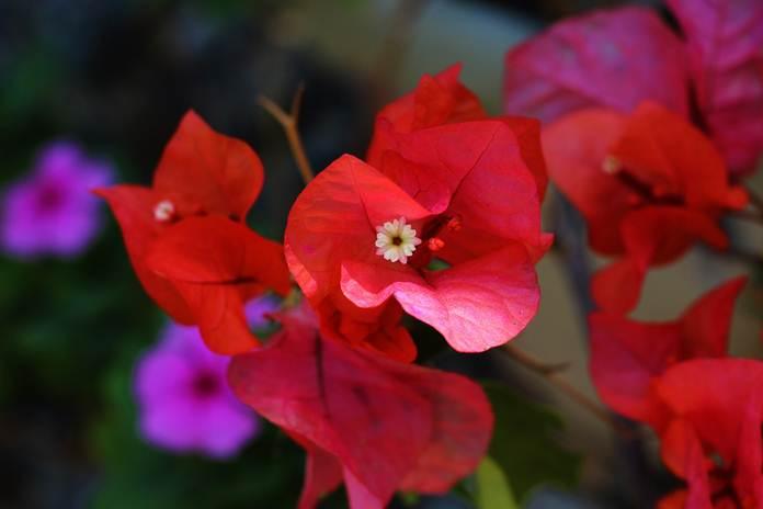 Begini Cara Setek Bunga Kertas 2 Warna Dalam Satu Batang Pertanianku