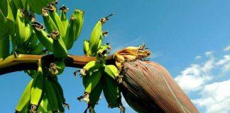 pisang nangka