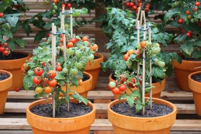 Persiapan menanam sayur