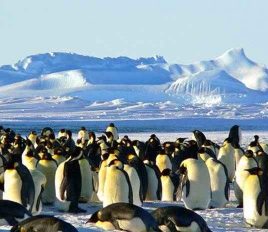 penguin kaisar adalah