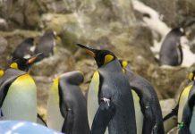penguin raja