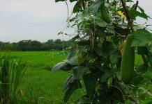 Bertanam oyong