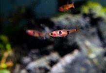 ikan boraras maculantus