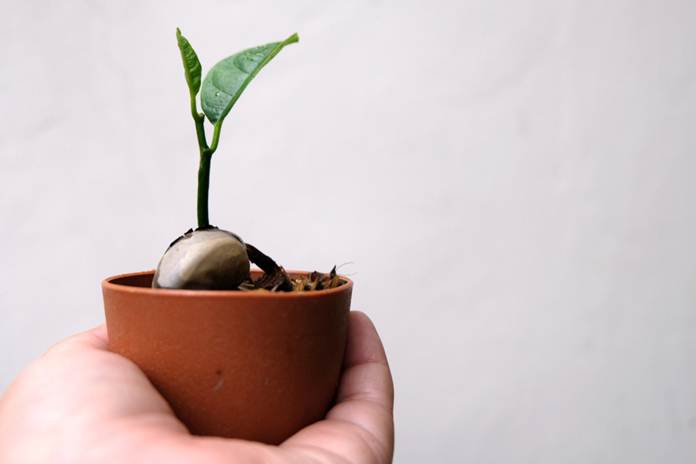 cara bertanam nangka mini dalam pot