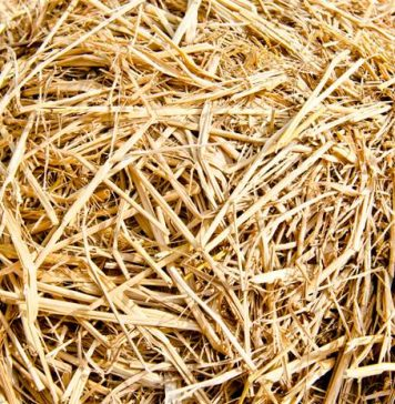 amoniasi urea jerami padi untuk pakan ternak