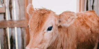membuat kolostrum untuk anak sapi