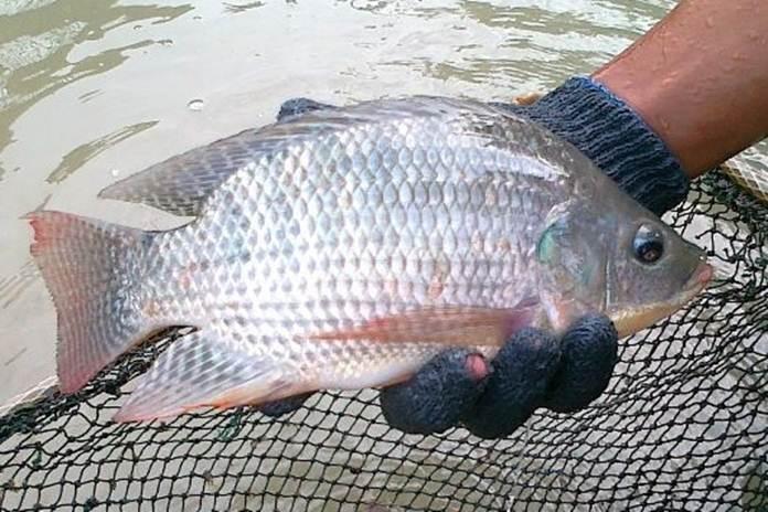 cara memelihara indukan ikan nila