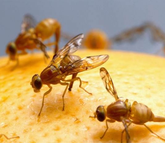 lalat buah Dacus spp