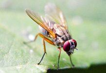 Cara mengendalikan hama lalat buah